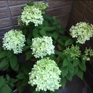 可愛い♡ホワイトグリーン♡ピラミッドアジサイ♡ノリウツギ♡根付保証苗♡鉢ごと発送(プランター)
