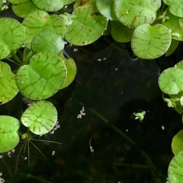 メダカ水草 その他のペット用品(アクアリウム)の商品写真