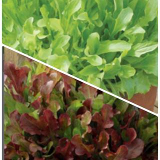 サラダ用ミックスグリーンリーフとミックスベビーリーフの種2種類セット各50粒❗️(野菜)