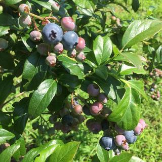 ブルーベリー 1kg  加工用   無農薬(フルーツ)