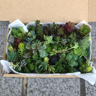 多肉植物セダムカット苗(約20〜25種類)箱発送(その他)