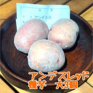 ラスト‼️【秋植え用】アンデスレッド 種芋大玉3個(野菜)