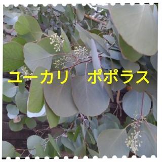 ポポラス50本以上 ユーカリ (その他)
