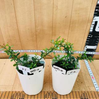 フィンガーライム☆さし木苗☆7.5センチポット☆2鉢セット☆ブラウン系(その他)