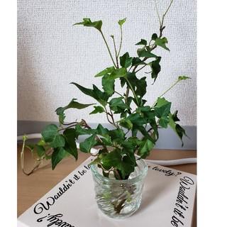アイビー オカメヅタ 苗 三本 観葉植物(プランター)