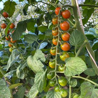 トマトミックス10Kg(野菜)