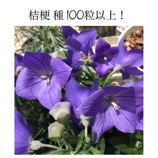 桔梗 キキョウ 種子 100粒以上! 宿根草 多年草 秋の七草 春秋まき(その他)