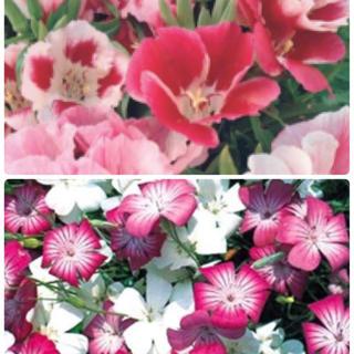 華やかでかわいい花の種セット❣️ゴデチヤとアグロステンマ