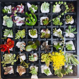 多肉植物   たっぷり36種類    カット苗