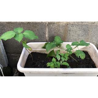 大葉 無農薬 抜き苗4、5本 庭農園 家庭菜園(野菜)