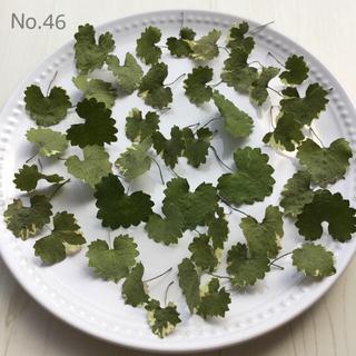 No.46 グレコマバリエガータ ドライフラワー 40枚 グリーン 花材(ドライフラワー)