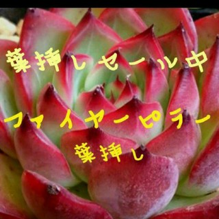 ファイヤーピラー 葉挿し3枚♥変更可能♥多肉植物 エケベリア(その他)