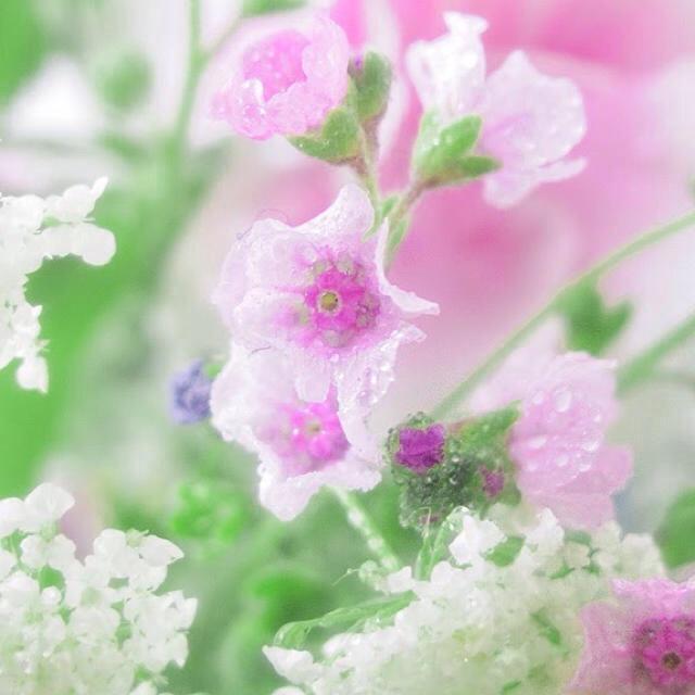 シノグロッサム ピンク 種 40以上 選べるオマケ付き ハンドメイドのフラワー/ガーデン(その他)の商品写真