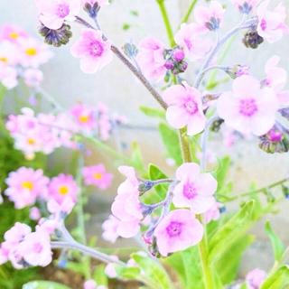 シノグロッサム ピンク 種 40以上 選べるオマケ付き(その他)