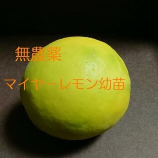 マイヤーレモン幼苗(プランター)