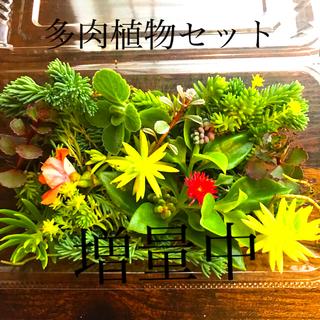 多肉植物カット苗セット(その他)