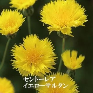 秋まき花の種 「セントーレア・イエローサルタン」を30粒以上 キバナニオイヤグル(その他)