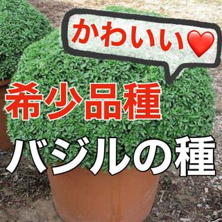 【まるでアフロ‼️】希少品種バジルの種 30粒 家庭菜園 ハーブ バジル タネ(野菜)