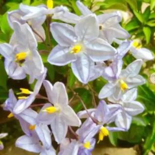 花の苗 星型の花 ツルハナナス 苗(その他)