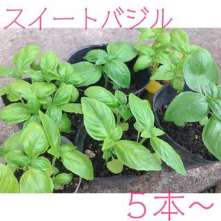 スイートバジル苗 5本(野菜)