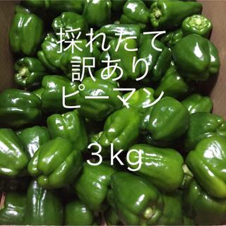 送料無料 訳ありピーマン 3kg 採れたてピーマン発送致します!!(野菜)