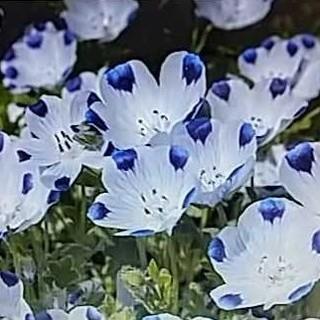 花の種 ネモフィラ インシグニスブルー300粒以上 オマケ付き(その他)