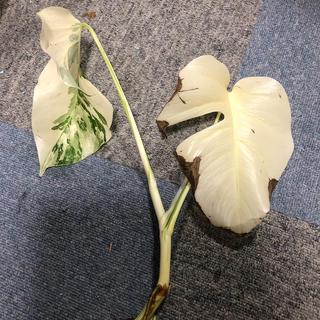斑入りモンステラ ホワイトタイガー 貴重種フルムーン(プランター)