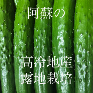 阿蘇のきゅうり1.5kg  本日終了 次回はまだ未定(野菜)