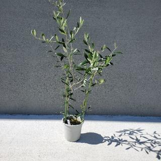 オリーブの木 フラントイオ 観葉植物 シンボルツリーに♪(プランター)