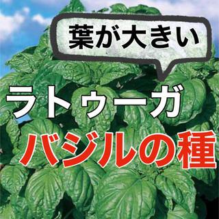 【存在感抜群‼️】バジル・ラトゥーガの種 30粒 バジル ハーブ 種 タネ(野菜)