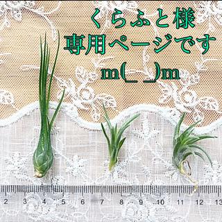 エアープランツ ミニ 3種(その他)