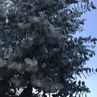 フレッシュ 銀丸葉ユーカリ 80サイズダンボール 30〜35cm 25本+おまけ(その他)