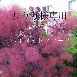 スモークツリー 苗 希少品種 ベルベットクローク 苗木(ドライフラワー)