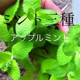 ミント苗3種おまけ付き(その他)