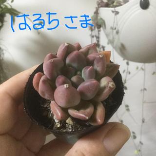多肉植物 エンジェルフィンガー❣️レッド❣️(その他)