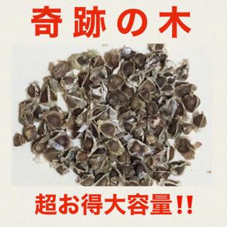 【スーパーフード種子 大容量】奇跡の木 モリンガの種約100粒 ハーブ 美容健康(野菜)