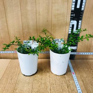 フィンガーライム☆さし木☆グリーンとブラウン☆2鉢セット☆7.5センチポット(その他)
