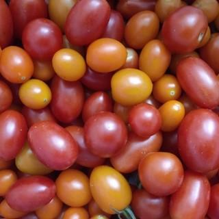 農薬不使用 ミニトマト 1kg(野菜)
