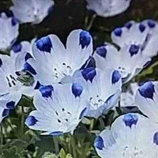 花の種 ネモフィラ3品種セット(その他)