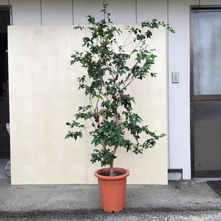ジャボチカバ 大葉種 いなみさん専用(フルーツ)
