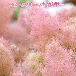 スモークツリー 苗 希少品種 バイカラー 苗木(ドライフラワー)