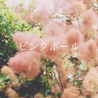 スモークツリー 苗 ピンクボール 苗木(その他)