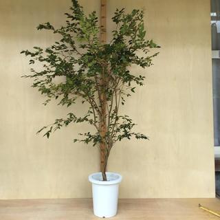 ジャボチカバ 中葉種 8号鉢 M 8-01R(フルーツ)