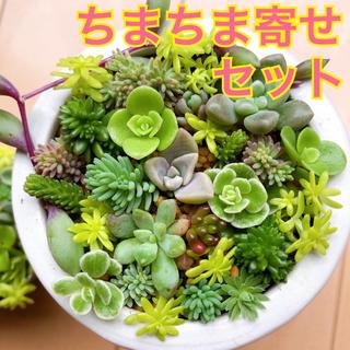 多肉植物 ♡ ちまちま寄せセット ♡ 1【※8/31(月)発送】(その他)