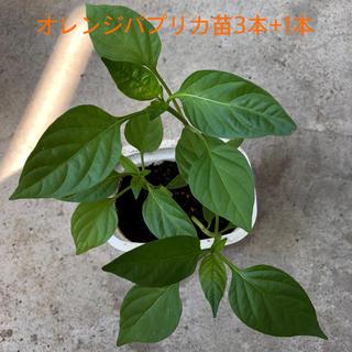オレンジ パプリカ苗3本 +1本(野菜)