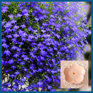 神秘的な花色♡『ロベリアリベエラマリンブルー 』花の種40粒(その他)