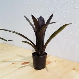 ネオレゲリア 観葉植物(その他)
