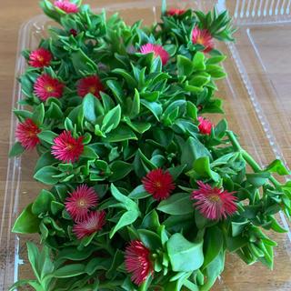 多肉植物 ベビーサンローズ 20カット(プランター)