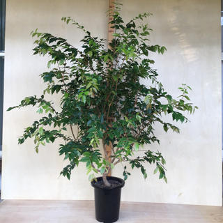 ジャボチカバ 大葉種 タロウ1218さん専用(フルーツ)