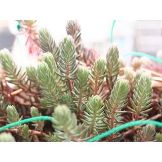 【希少】ブルースプルース カット芽 オマケ付き 紅葉する多肉植物 セダム(その他)